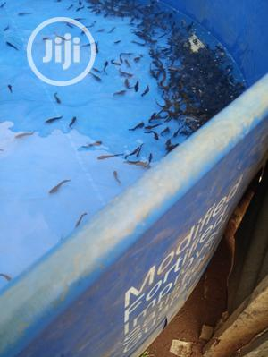 Buy Clarias Catfish Fingerlings   Livestock & Poultry for sale in Lagos State, Alimosho