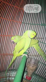 Ring Nick Parakeets | Birds for sale in Katsina State, Katsina