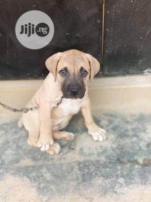 Baby Female Purebred Boerboel | Dogs & Puppies for sale in Ekiti State, Ado Ekiti