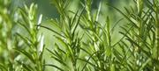 Organic Rosemary Seeds Rosemary Seedlings | Feeds, Supplements & Seeds for sale in Lagos State, Victoria Island