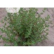 Organic Thyme Seeds Thyme Seedlings | Feeds, Supplements & Seeds for sale in Lagos State, Victoria Island