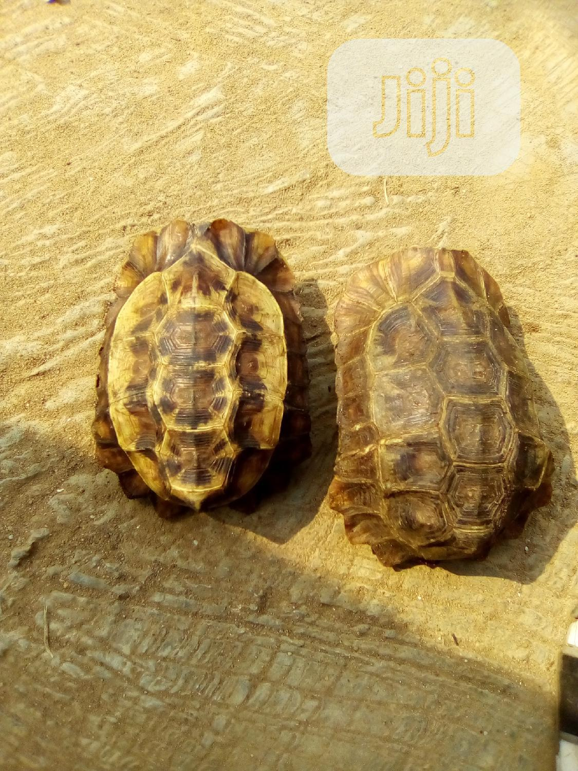 Turtle For Sell