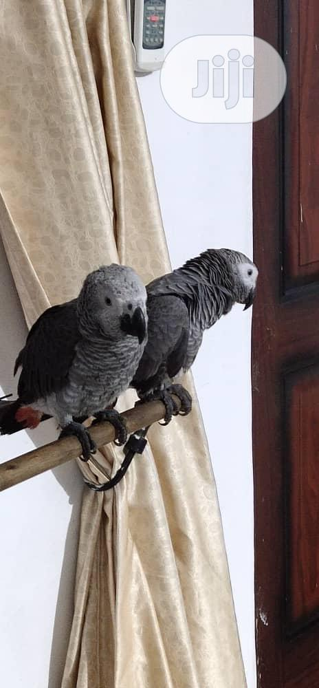 Healthy and Talking Africa Grey Parrot for Sale