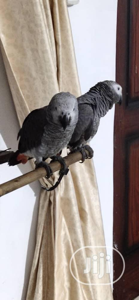 Healthy and Talking Africa Grey Parrot for Sale   Birds for sale in Surulere, Lagos State, Nigeria