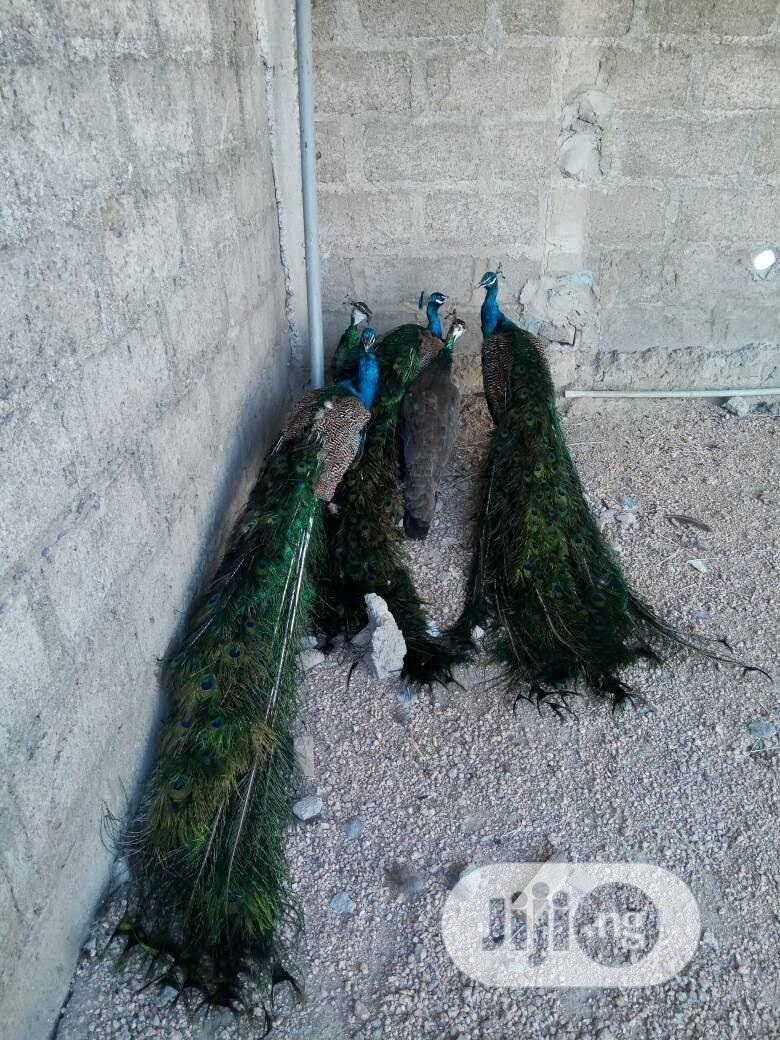 Peacocks For Sale In Large Quantities