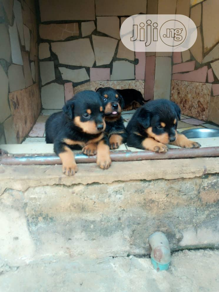Archive: Young Female Purebred Rottweiler