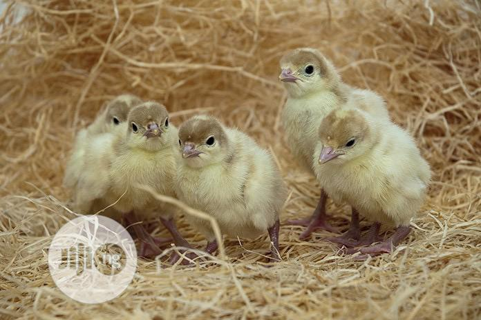 Imported Turkey Poult | Livestock & Poultry for sale in Owerri, Imo State, Nigeria