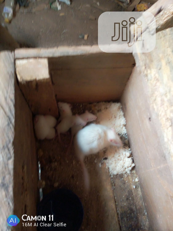 Archive: Albino Rats