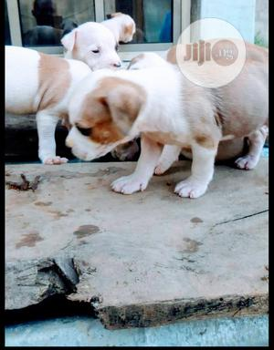 Baby Male Purebred American Pit Bull Terrier | Dogs & Puppies for sale in Lagos State, Kosofe