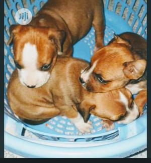 Baby Female Purebred American Pit Bull Terrier | Dogs & Puppies for sale in Lagos State, Lagos Island (Eko)