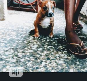 Baby Male Purebred American Pit Bull Terrier | Dogs & Puppies for sale in Lagos State