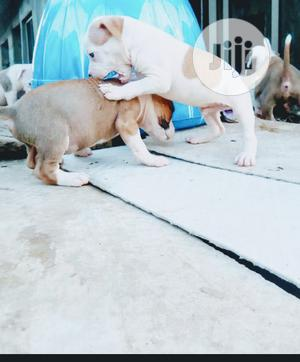 Baby Female Purebred American Pit Bull Terrier | Dogs & Puppies for sale in Lagos State, Lekki