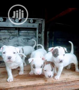Baby Male Purebred American Pit Bull Terrier | Dogs & Puppies for sale in Lagos State, Lekki
