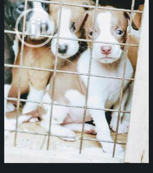 Baby Male Purebred American Pit Bull Terrier | Dogs & Puppies for sale in Lagos State, Magodo