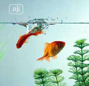 Affordable Goldfish for Fish Bowls and Aquariums | Fish for sale in Abuja (FCT) State, Gwarinpa