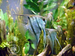 Affordable Angel Fishes for Fish Bowls and Aquariums | Fish for sale in Abuja (FCT) State, Gwarinpa