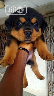 Young Female Purebred Rottweiler | Dogs & Puppies for sale in Abia State, Aba North