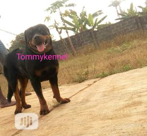 Adult Male Purebred Rottweiler   Dogs & Puppies for sale in Ogun State, Ijebu Ode