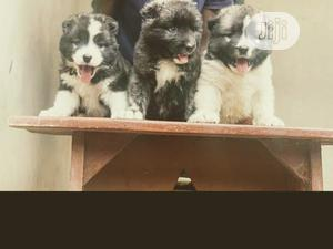 1-3 Month Female Purebred Caucasian Shepherd | Dogs & Puppies for sale in Lagos State, Lekki