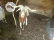 Healthy And Strong Ram | Livestock & Poultry for sale in Kaduna State, Jema'a