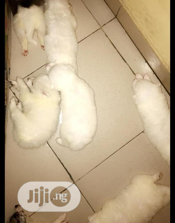 Baby Male Purebred Samoyed