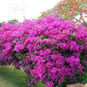 Bougainnvillea Flower Seedlings | Feeds, Supplements & Seeds for sale in Plateau State, Jos