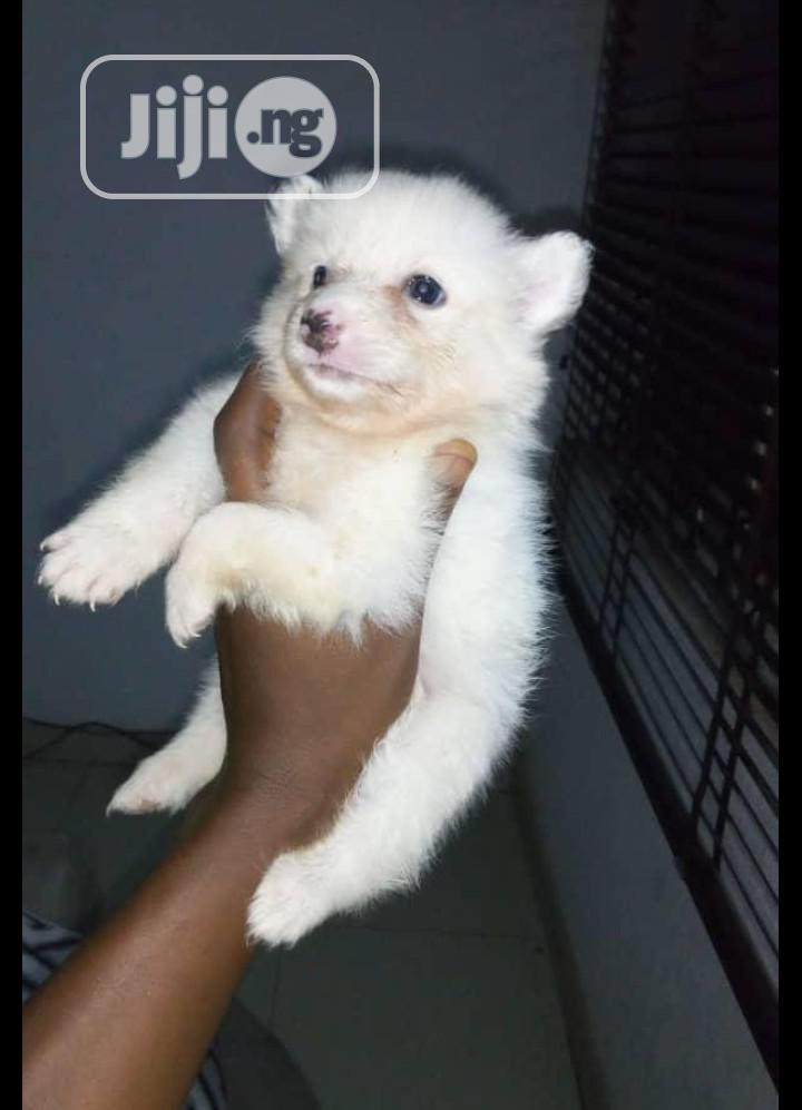 Baby Male Purebred Samoyed