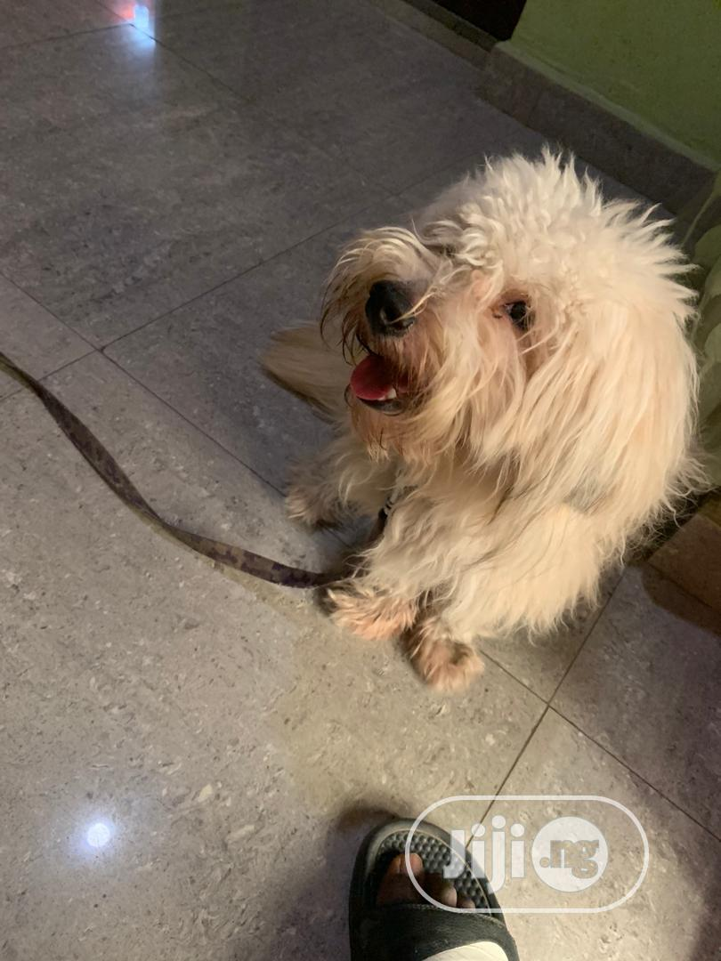 Young Male Purebred Lhasa Apso | Dogs & Puppies for sale in Lagos Island (Eko), Lagos State, Nigeria