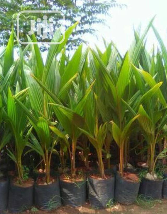 Palms Plant Nursery In Umuahia Feeds Supplements Seeds Daniel Hosu Jiji Ng For Sale In Umuahia Buy Feeds Supplements Seeds From Daniel Hosu On Jiji Ng