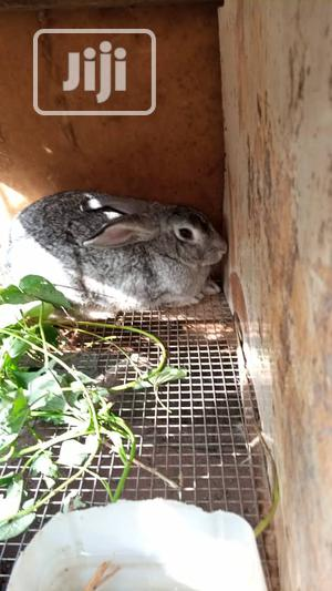 Rabbits, Different Breeds, Newzealand, Hylaquine, Dutch, Angora, | Livestock & Poultry for sale in Lagos State, Ikoyi