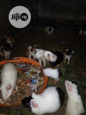 Fresh Young Guinea-pigs | Other Animals for sale in Lagos State