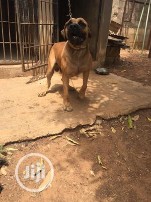 1+ Year Male Purebred Boerboel | Dogs & Puppies for sale in Kwara State, Ilorin South