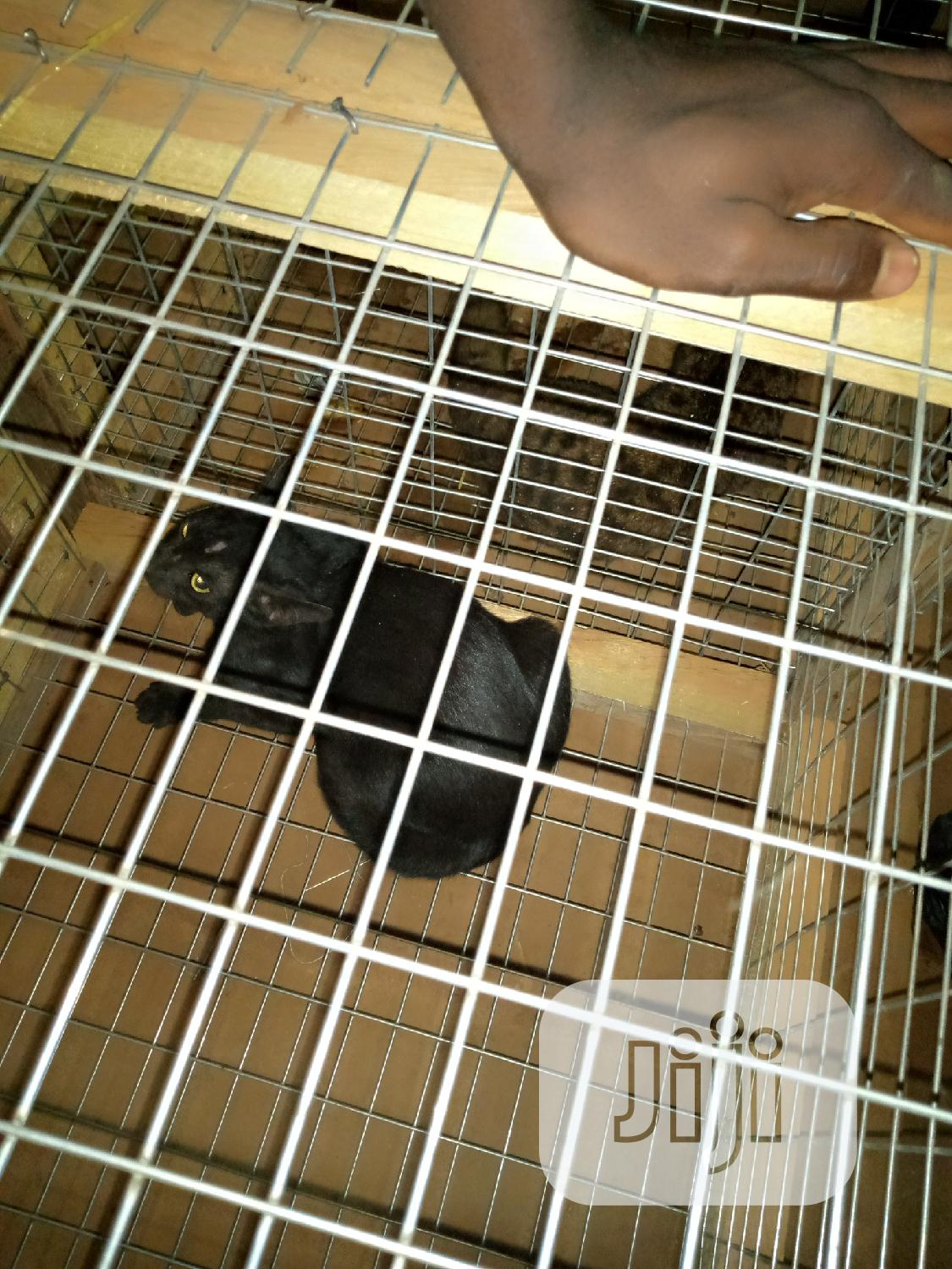 Adult Male Purebred | Cats & Kittens for sale in Ikorodu, Lagos State, Nigeria