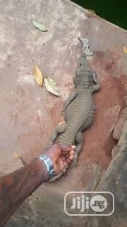 Crocodile, Bred From Young. | Reptiles for sale in Lagos State, Ikorodu