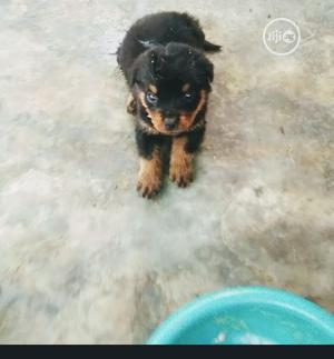 1-3 month Female Purebred Rottweiler   Dogs & Puppies for sale in Lagos State, Gbagada