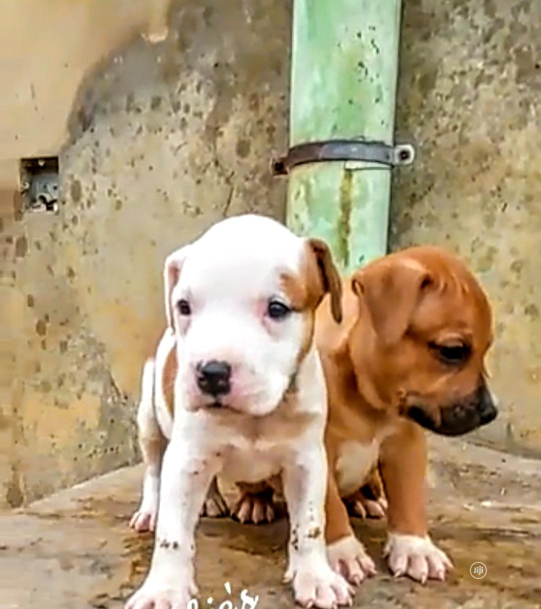 1-3 Month Male Purebred American Pit Bull Terrier   Dogs & Puppies for sale in Ibadan, Oyo State, Nigeria