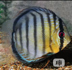 Discus Aquarium Fish Of All Kind For You And Your Family | Fish for sale in Lagos State, Surulere
