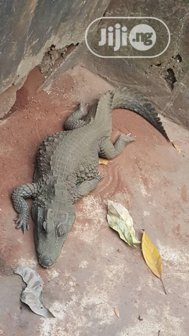 Crocodile, Bred From Young. | Reptiles for sale in Ikorodu, Lagos State, Nigeria