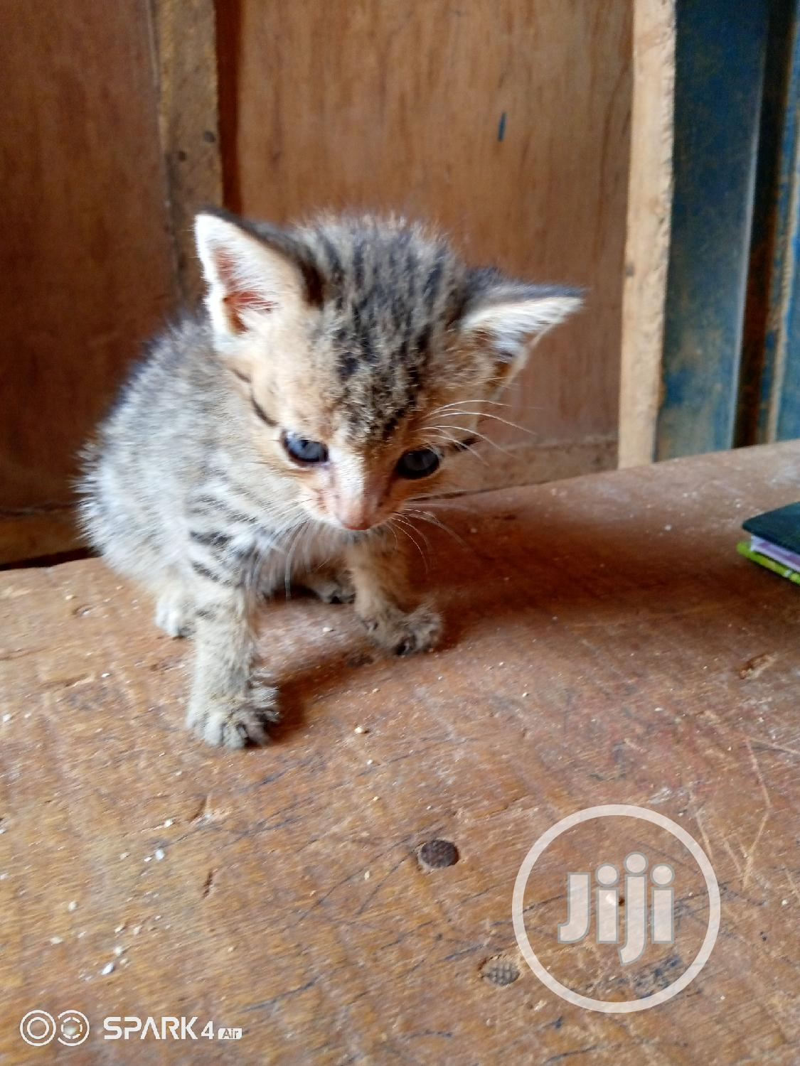 Young Female Purebred American Wirehair | Cats & Kittens for sale in Lagos State, Nigeria