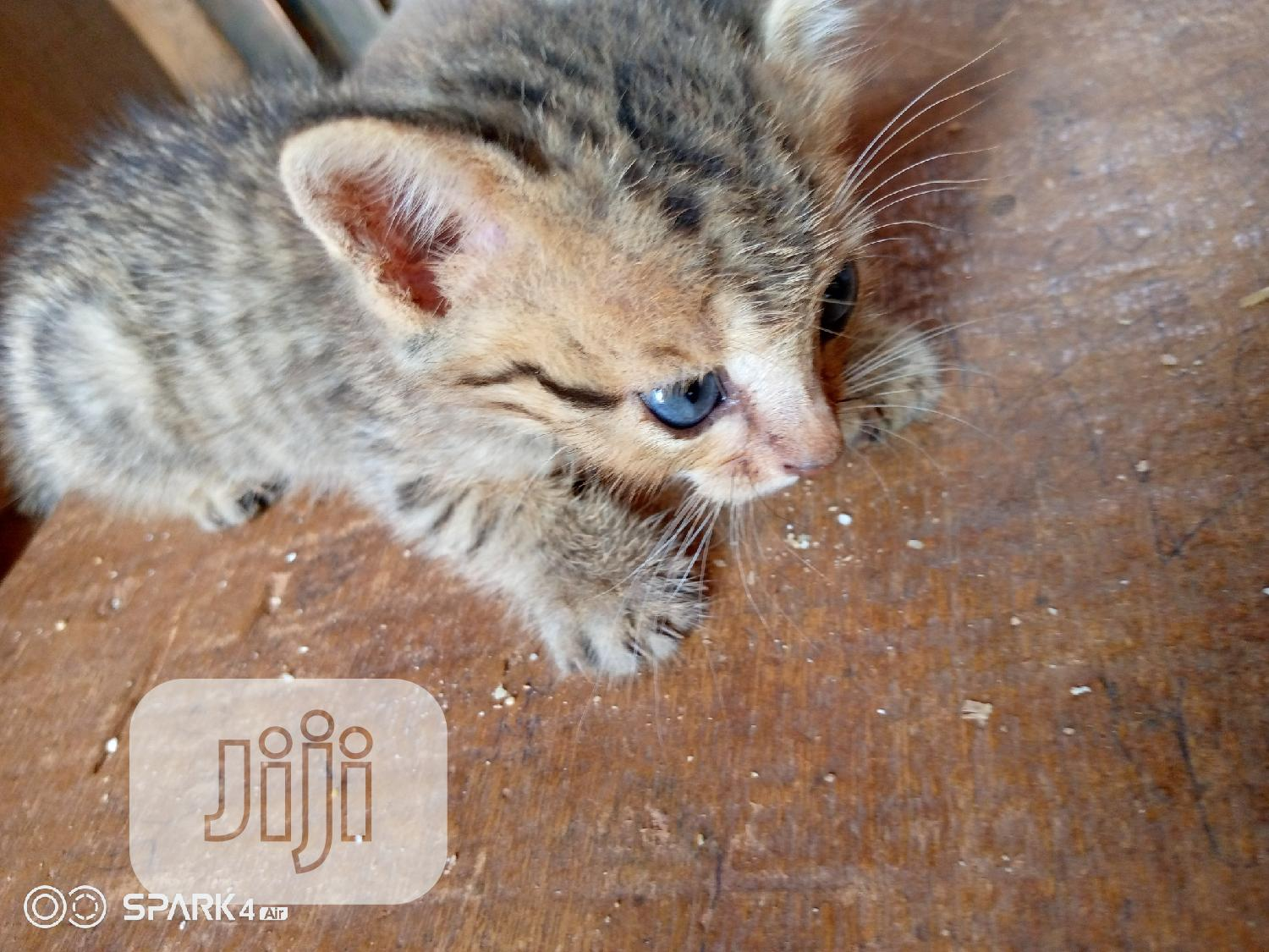 Young Female Purebred American Wirehair   Cats & Kittens for sale in Lagos State, Nigeria