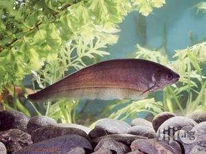 Knife Fish For Fish Bowls And Aquarium | Fish for sale in Lagos State