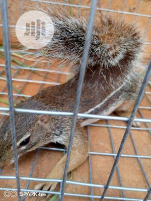 Chipmunks, Americas Most Beloved Pet | Other Animals for sale in Lagos State, Lagos Island (Eko)