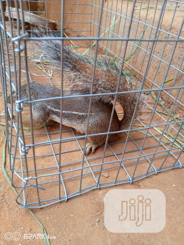 Chipmunks, Americas Most Beloved Pet | Other Animals for sale in Lagos Island, Lagos State, Nigeria