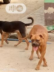 Young Male Purebred Bullmastiff | Dogs & Puppies for sale in Rivers State, Port-Harcourt