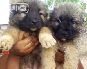 Baby Male Purebred Caucasian Shepherd | Dogs & Puppies for sale in Kwara State, Ilorin South