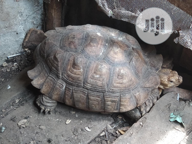 Premium Big Tortoise For Sale