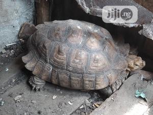 Premium Big Tortoise For Sale | Reptiles for sale in Lagos State, Lekki