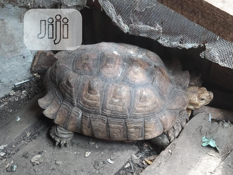Premium Big Tortoise For Sale | Reptiles for sale in Lekki Phase 1, Lagos State, Nigeria