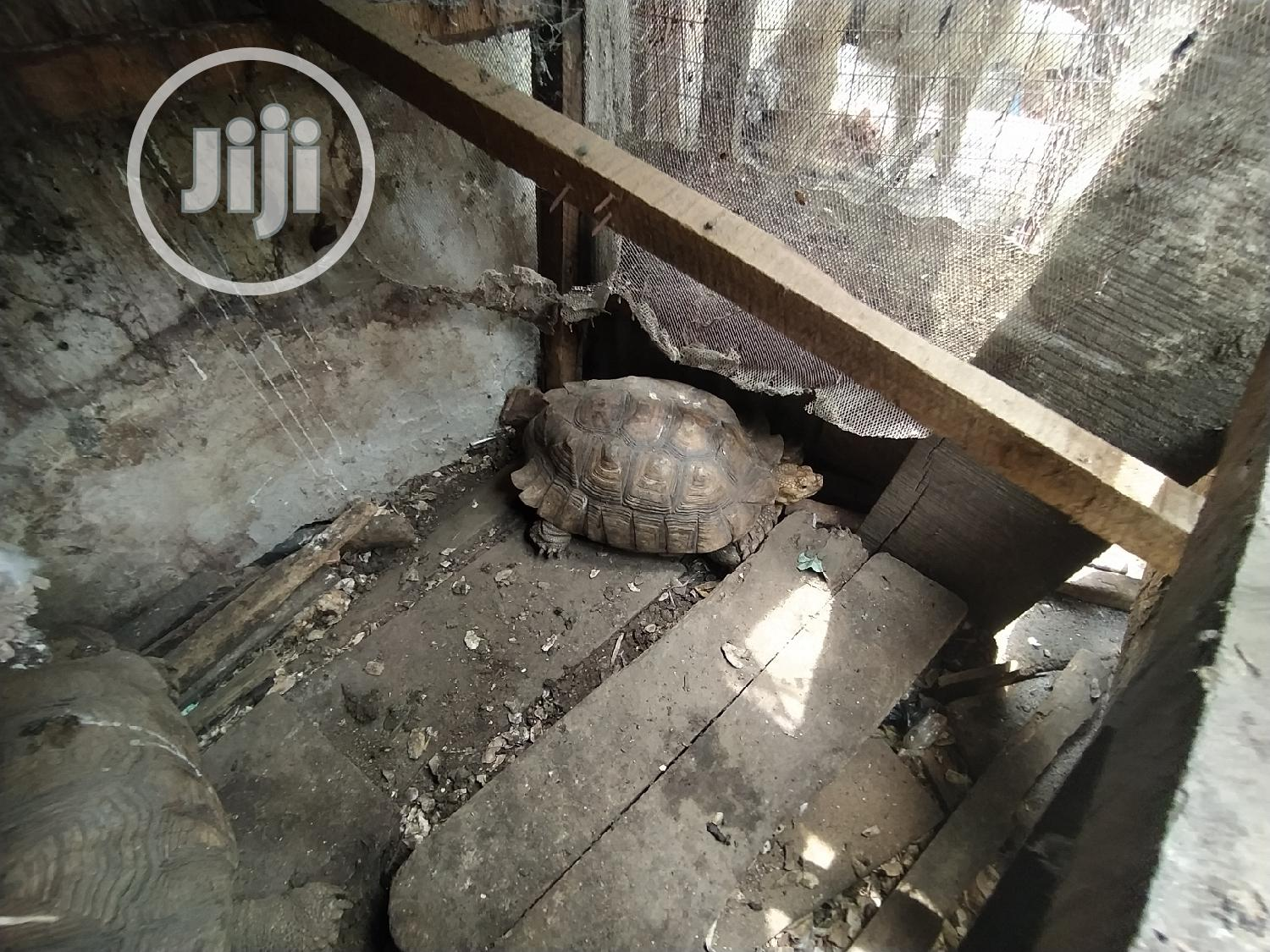 Premium Small Cute Tortoise For Sale