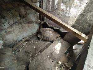 Premium Small Cute Tortoise For Sale | Reptiles for sale in Lagos State, Lekki